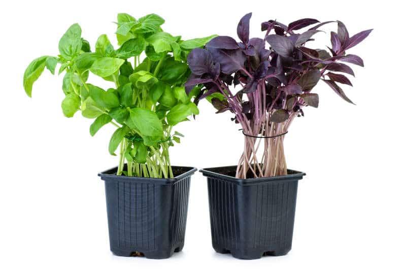 Planta de Albahaca Verde y Morada