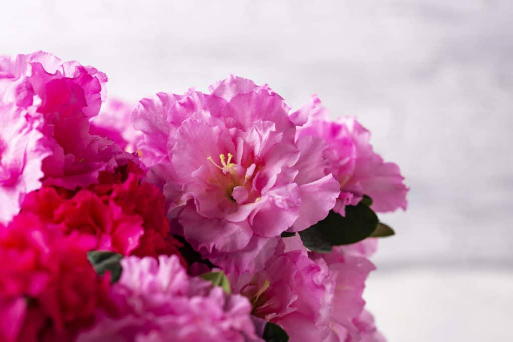 Azaleas rosadas