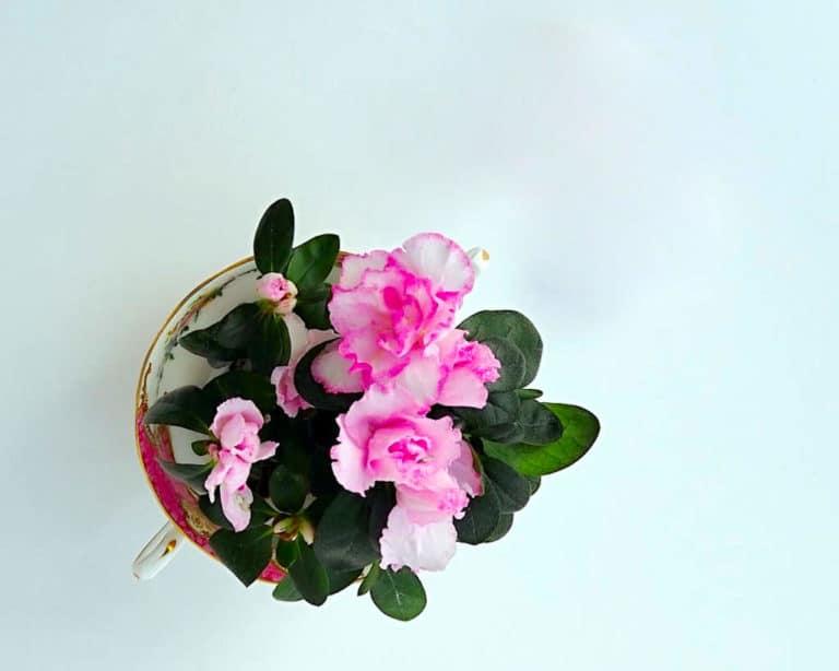 Como Cuidar Azaleas y Rododendros en Maceta y en Jardín