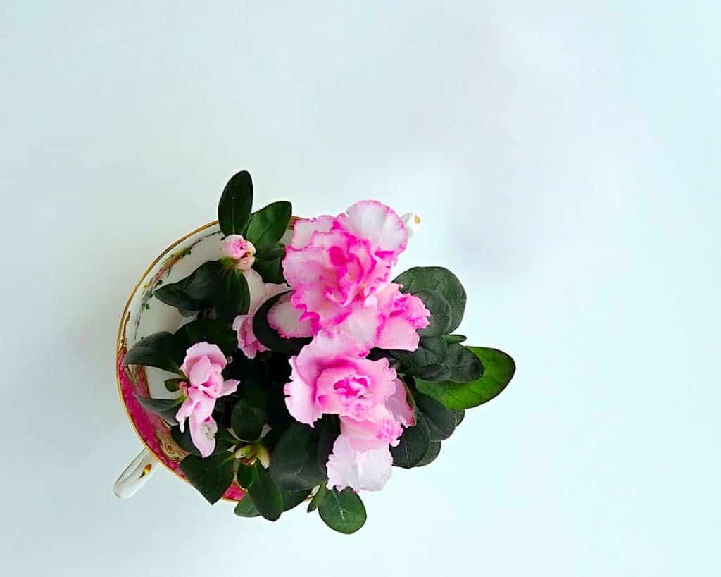 Como cuidar azaleas y rododendros