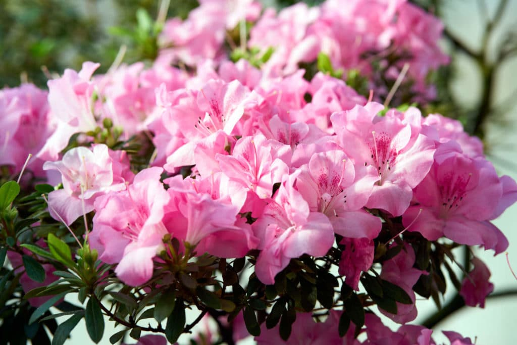 Azaleas rosas en jardín