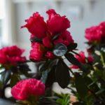 Cuidados de la azalea - Color Rojo