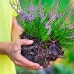 Calluna y raíces para trasplantar