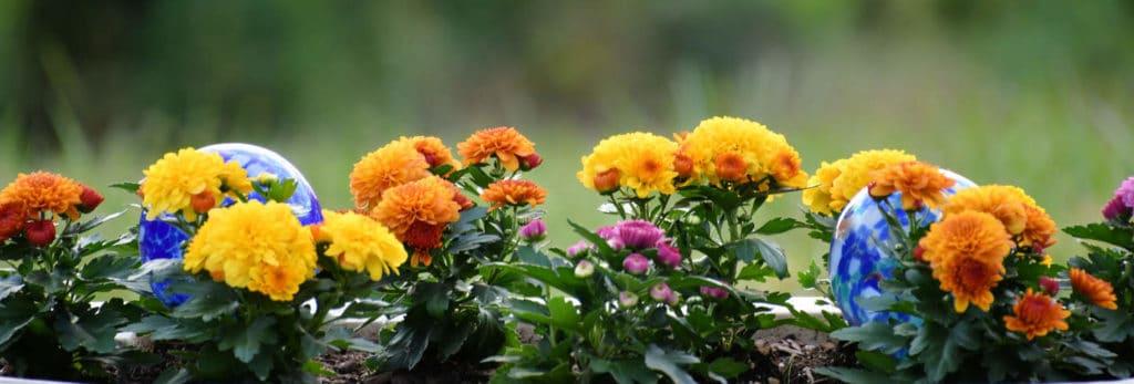 Cuidados de los Crisantemos