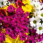 Los cuidados de los Crisantemos