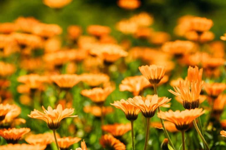 Los Cuidados de la Caléndula. Flor de Otoño