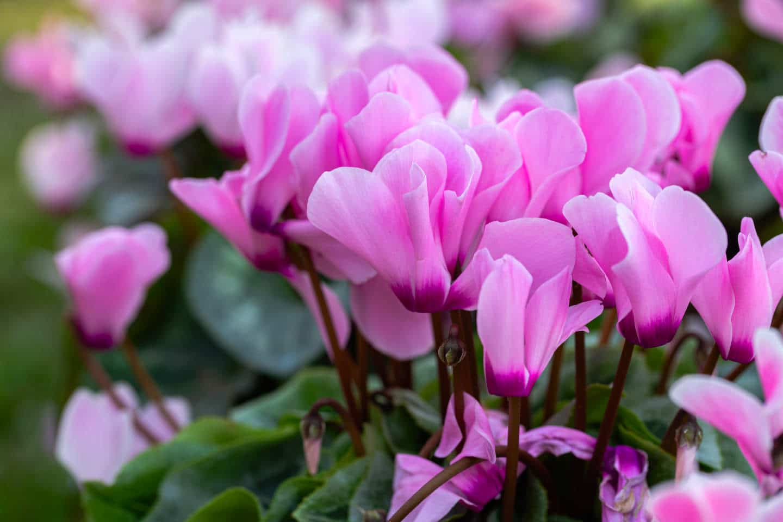Cuidados del Ciclamen y su Floración