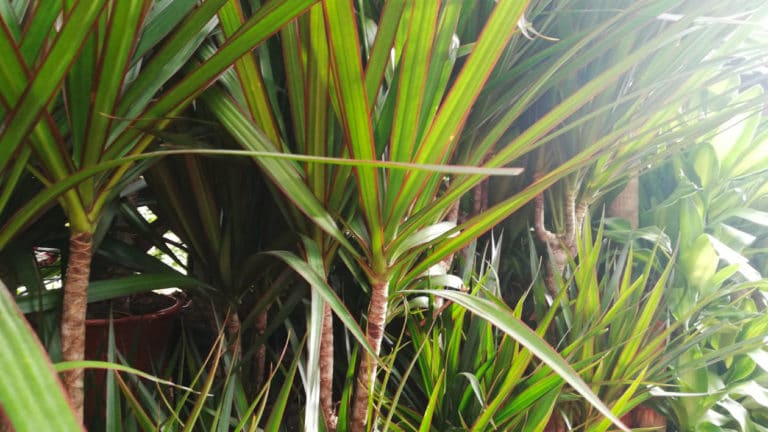 Los Cuidados de la Dracaena Marginata. Planta Fácil de Interior