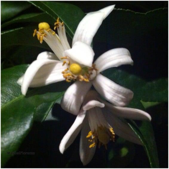 Flore de Azahar