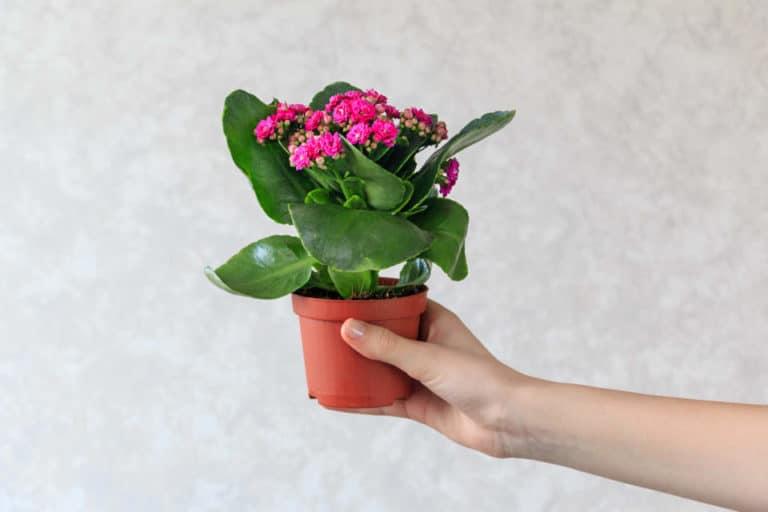 Cómo Cuidar de un Kalanchoe. Una Flor Suculenta de Cuidados Fáciles