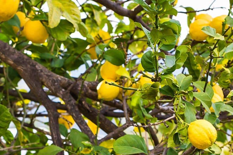 Los Cuidados del Limonero en Maceta y en Tierra