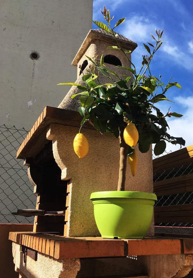 Cuidados de un Limonero en Maceta