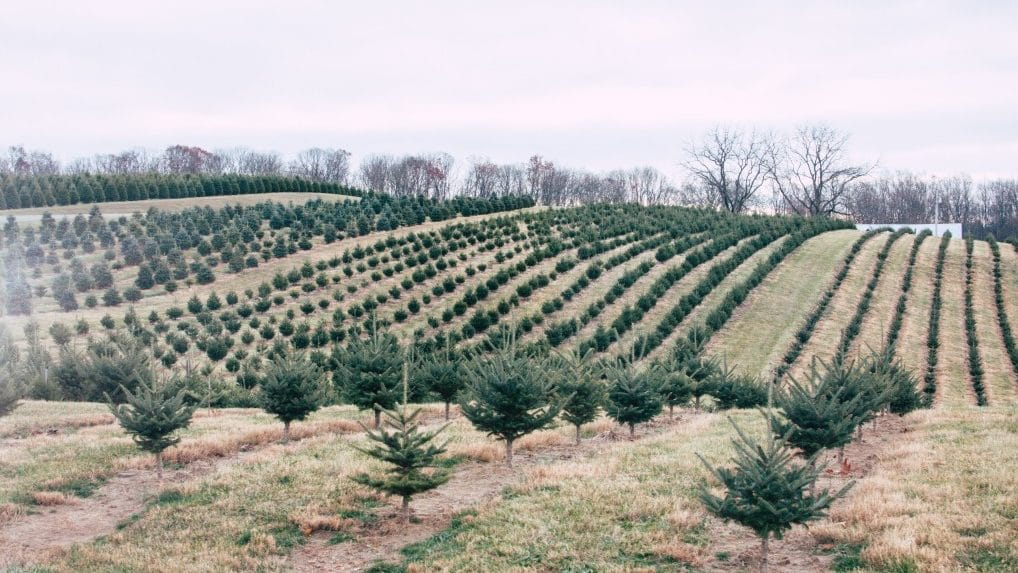 Árboles Naturales de Navidad