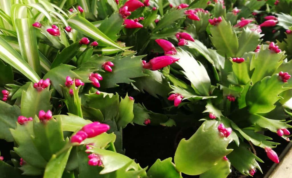 Schlumbergera Flores Jóvenes