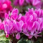 Los cuidados del Ciclamen y su flor