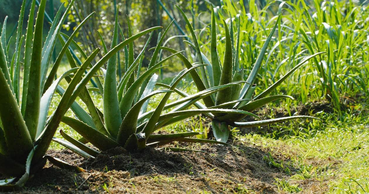 Los Cuidados del Aloe Vera