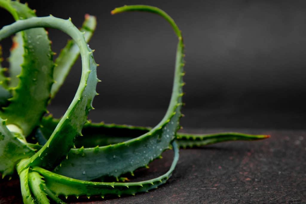 Cuidados del Aloe Vera