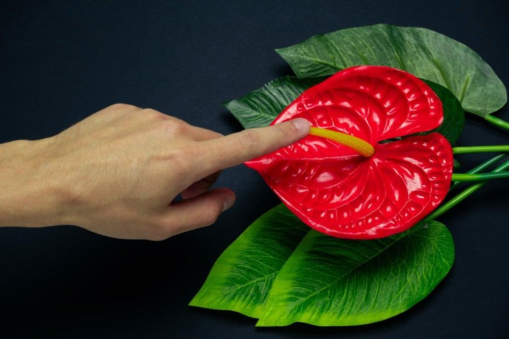 Cuidados del Anthurium Rojo