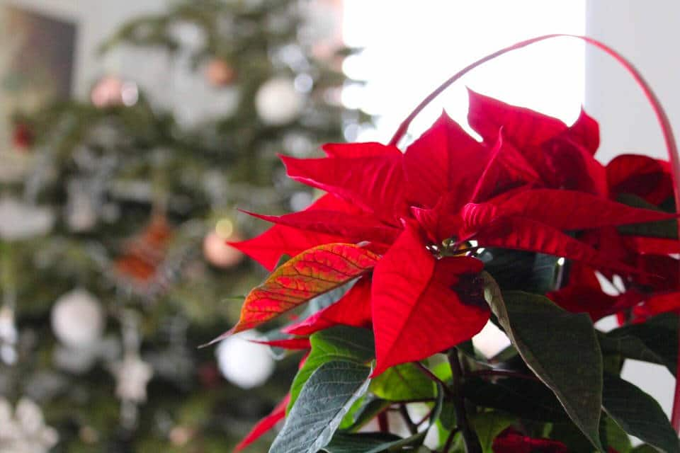 distintas variedades de poinsettia para Navidad de 2020