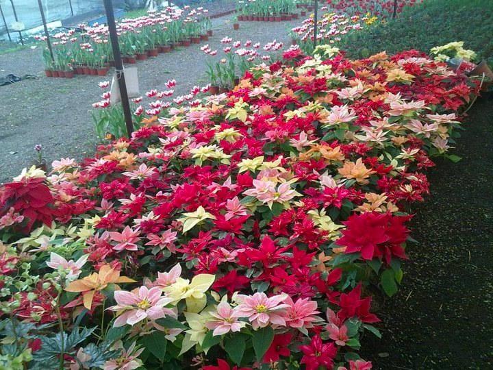 Variedades de Poinsettia por Colores