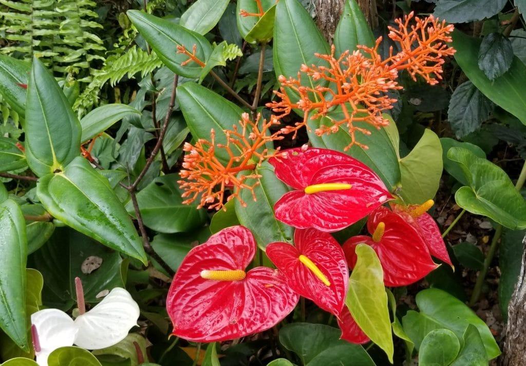 Cuidados del Anthurium - Variedad Red Love