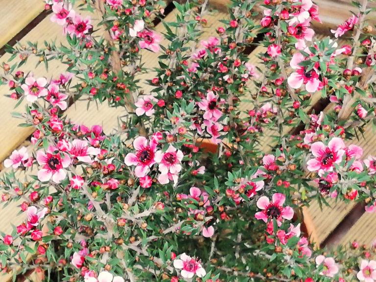 Los Cuidados del Leptospermum. Un Arbusto con Flor Ideal para Jardines