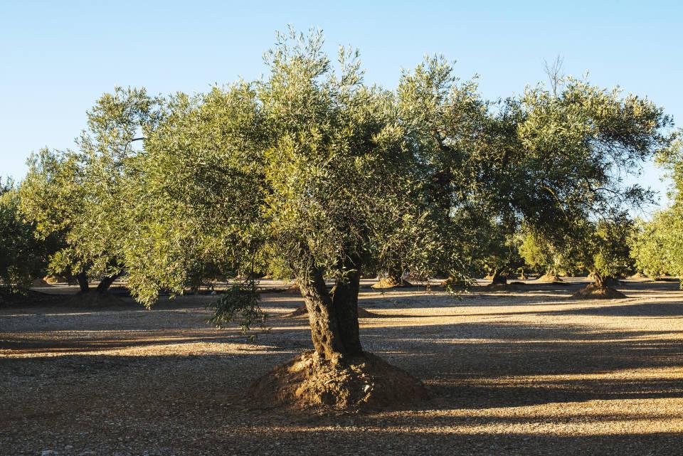 Árbol del Olivo. Como trasplantar un olivo