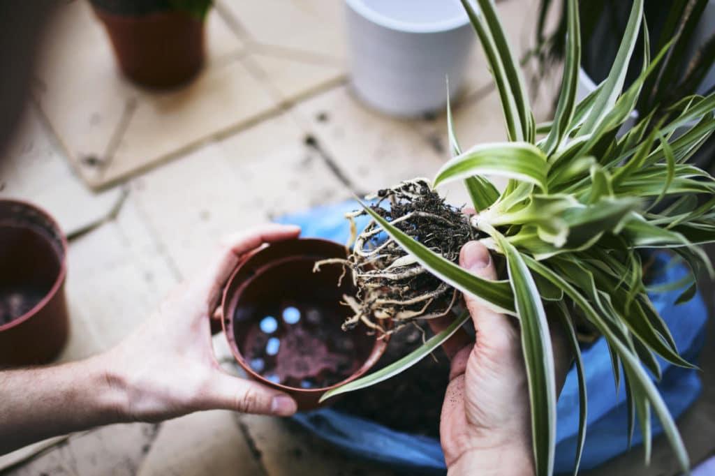 El Mejor Momento para Trasplantar una planta