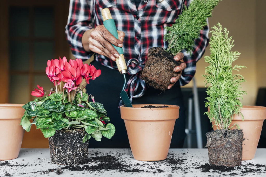 Puedo Trasplantar una planta recién comprada