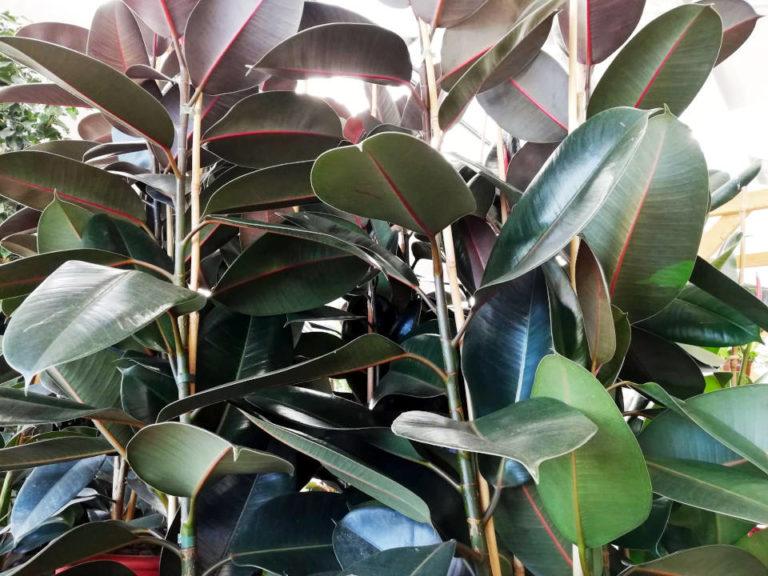 Los Cuidados del Ficus Elastica (Ficus Robusta). La Reina de las Plantas de Interior