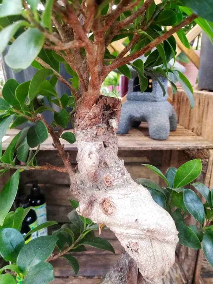 Cuidados de un Ficus Ginseng
