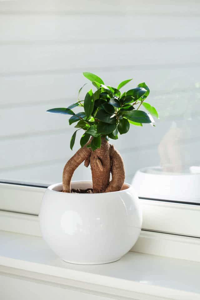 Como Cuidar un Ficus Ginseng