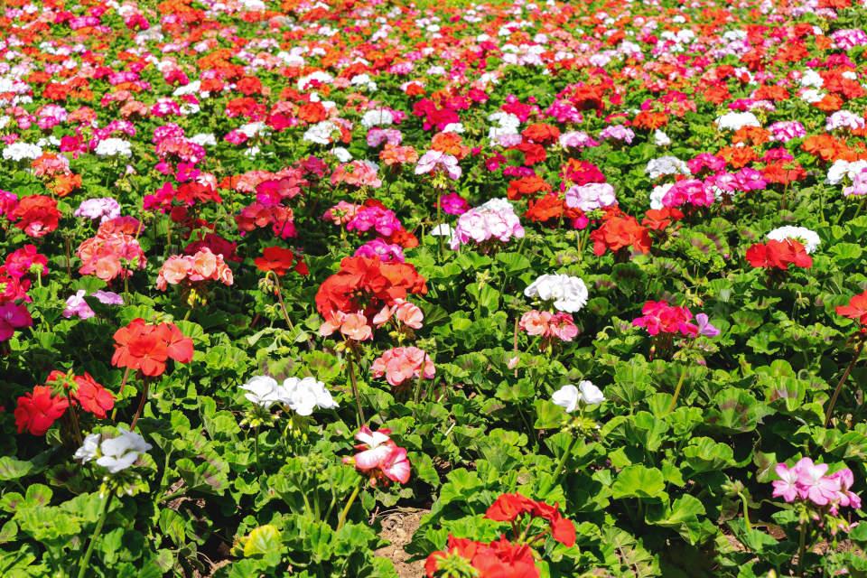 Cuidados del Pelargonium y el geranio de colores