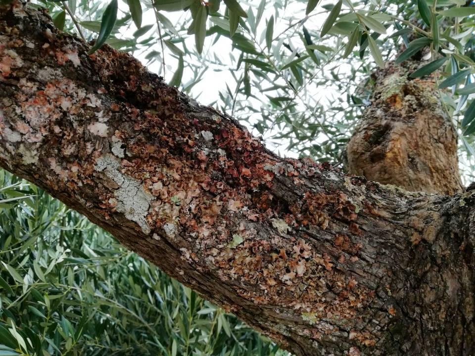 Rama Grueso de Olivo en MAceta