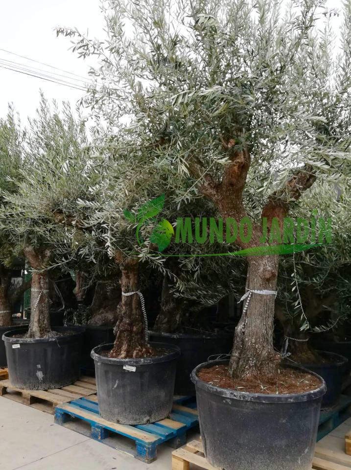 Olivos en Tiendas de Jardinería