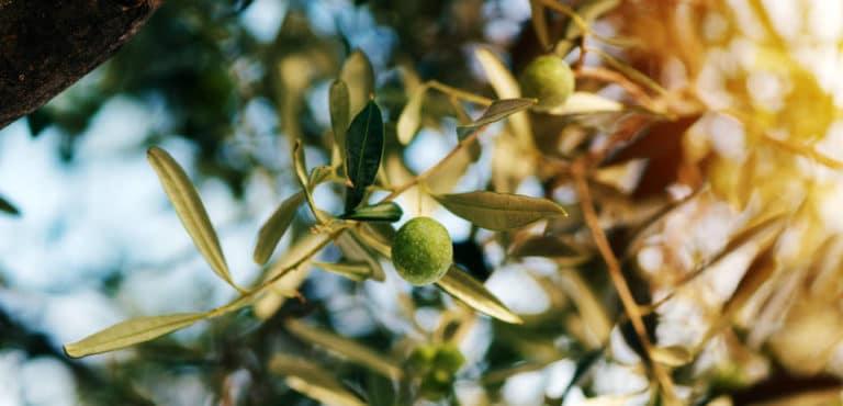 Los Cuidados del Olivo en Maceta. La Esencia del Mediterráneo en el Jardín