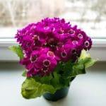Senecio Cruentus - Flor de Primavera