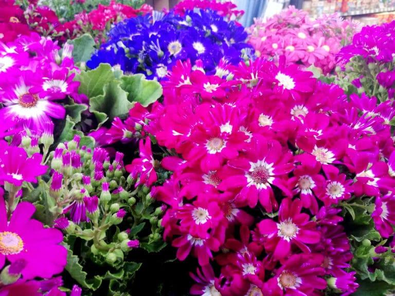 Los Cuidados de la Cineraria (Senecio Cruentus) Flor de Primavera