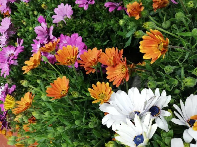 Los Cuidados de la Dimorfoteca y el Osteospermum. La Colorida Margarita Africana