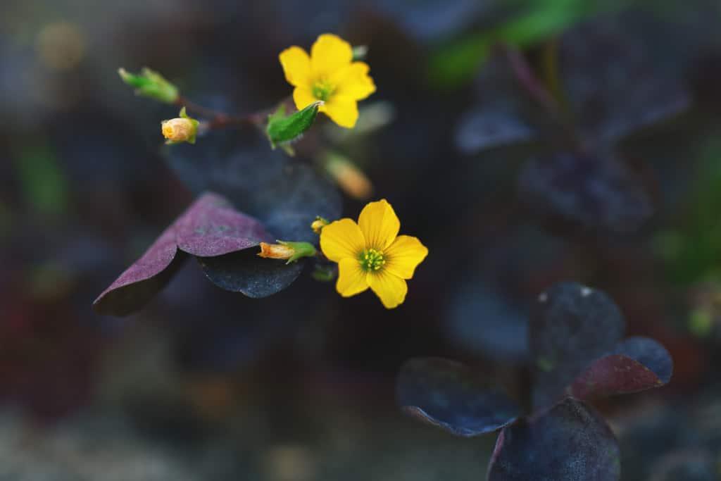 Como cuidar un oxalis. Flor del Oxalis