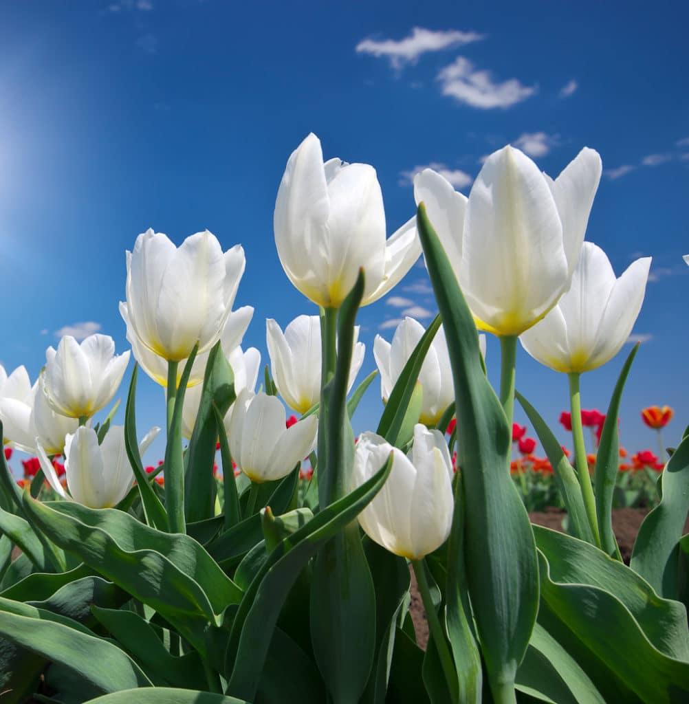 Cómo Cuidar tulipanes