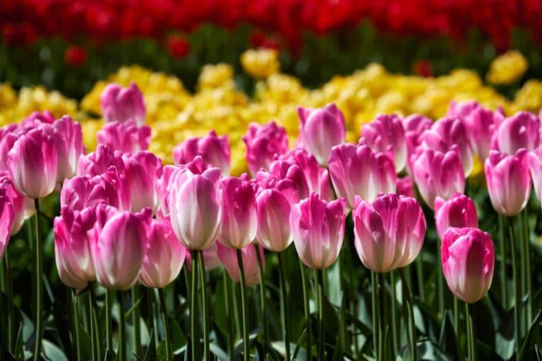 Guía Útil de los Cuidados del Tulipán. Cómo Cuidar Tulipanes en Maceta, en Agua o en el Jardín