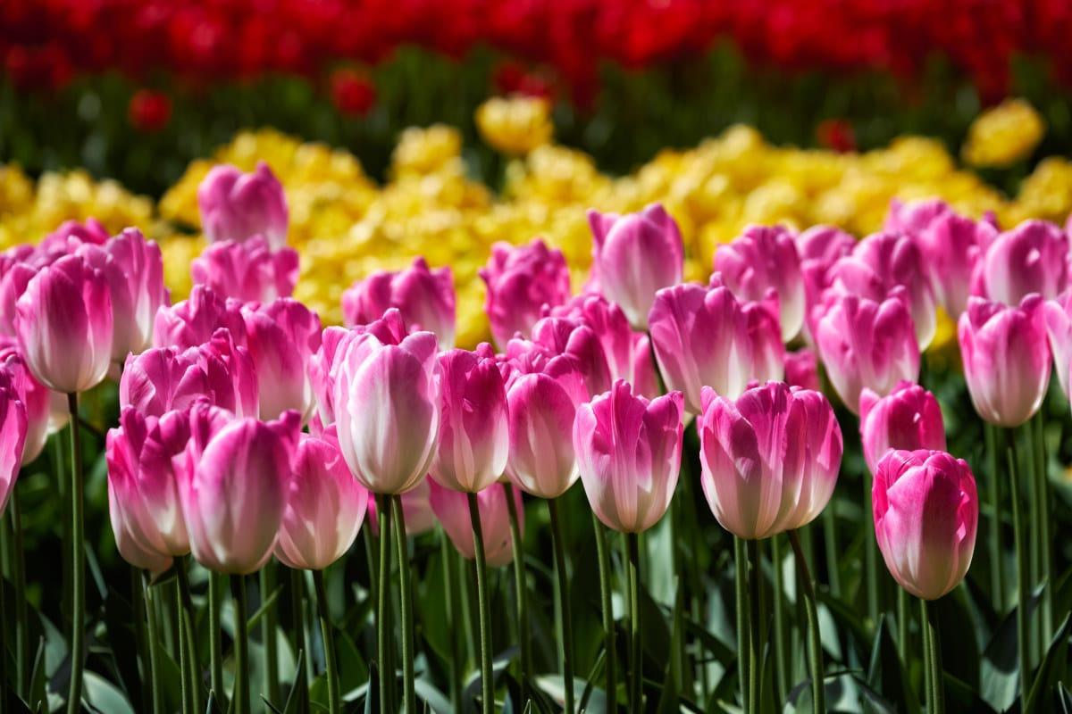 Cuidados del Tulipán