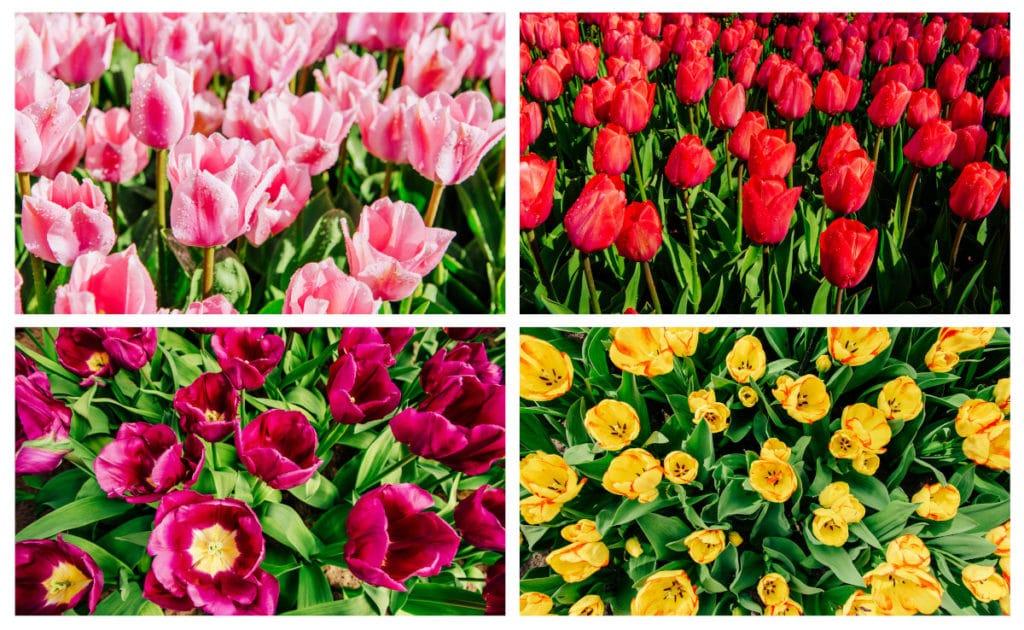 Collage. Como cuidar tulipanes