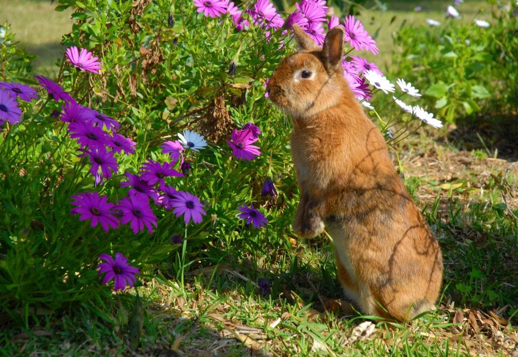 Dimorfoteca en Jardín con un Conejo