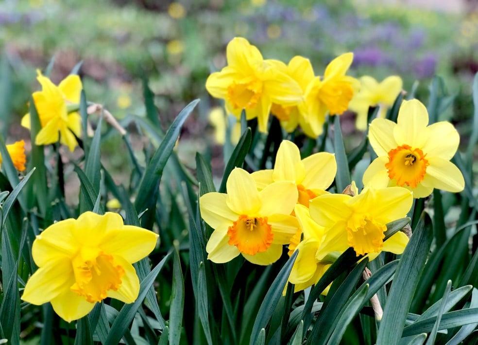 Plantas Venenosas para Perros y Gatos. El Narciso