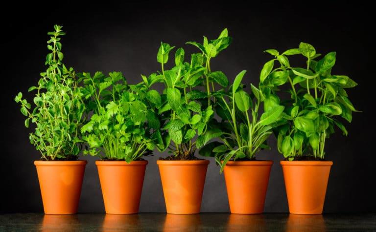 Guía de Plantas Aromáticas y Culinarias para 2021