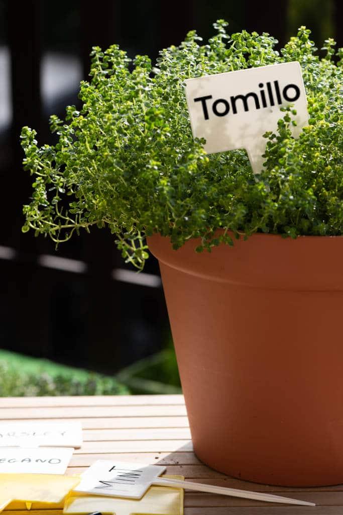 Guía de Plantas Aromáticas: Tomillo